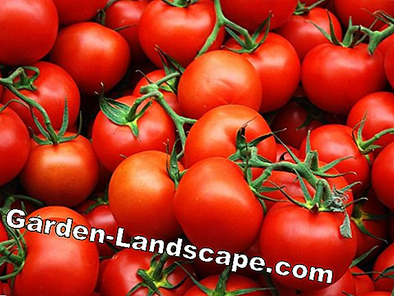 The best tips for tomatoes with taste