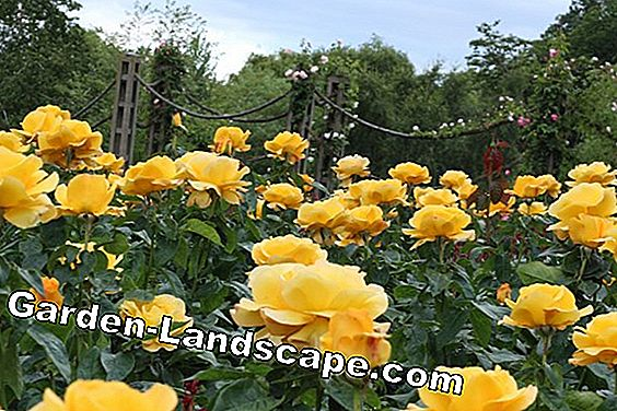 The best yellow roses for the garden