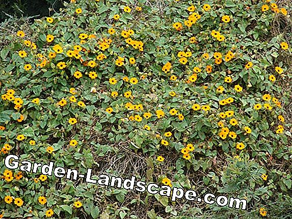 Black-eyed Susanne, Thunbergia alata - plants and care