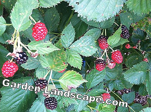 Multiply blackberries yourself