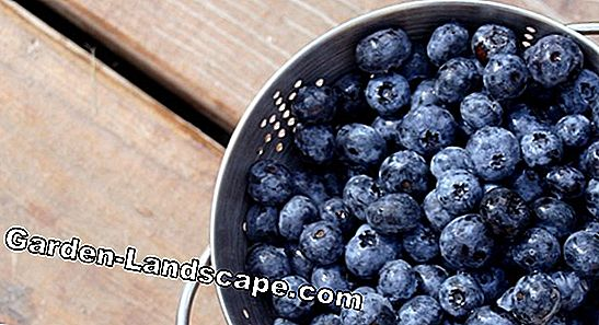 Cut blueberries properly