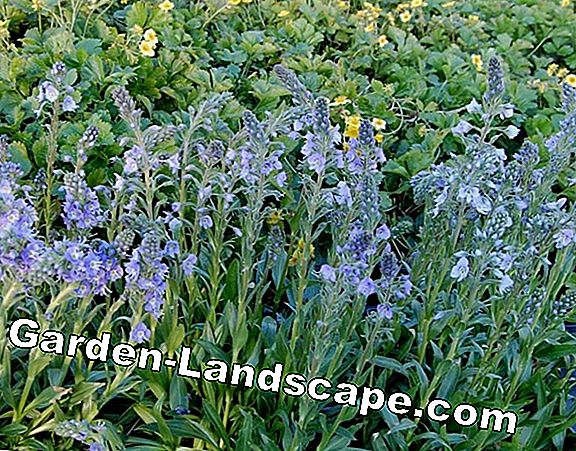 Blue gentian - Care of the flower, information on flowering and wintering
