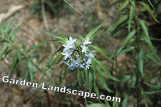 Bluestar plants - care