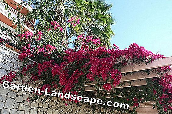 Bougainvillea glabra plant - care of the trifolium flower
