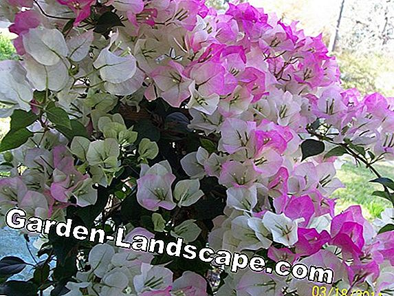 Bougainvillea does not bloom - so triples flowers bloom permanently