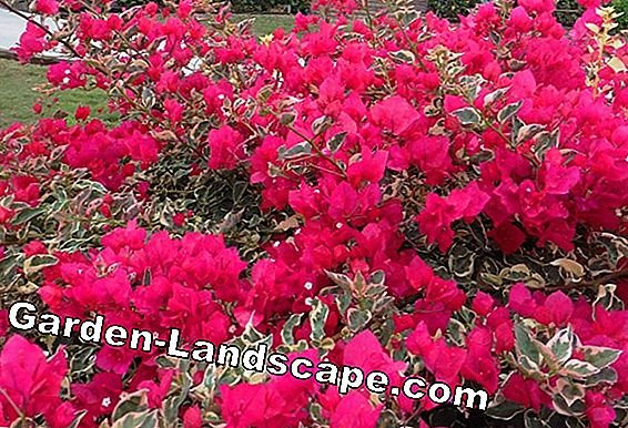 Plant Bougainvillea - Important notes on location, soil & tips for transplanting