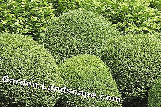 Boxwood: The most common diseases and pests