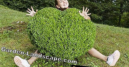 Cut boxwood: tips about the shape cut
