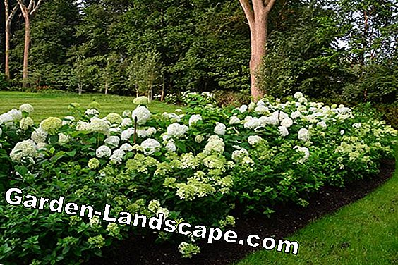 Plant boxwood - time, planting distance and tips