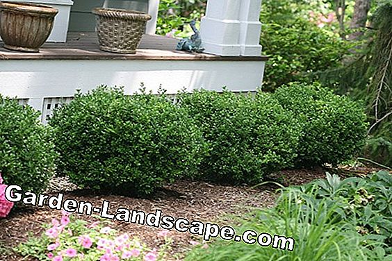 Fertilize boxwood properly