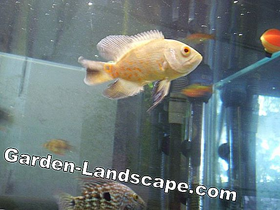 Cichlid, Celosia species - Care Tips