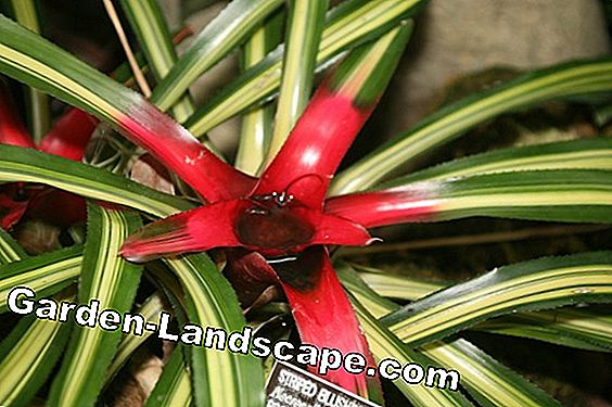 Bromeliad, bromelia - location, care and reproduction