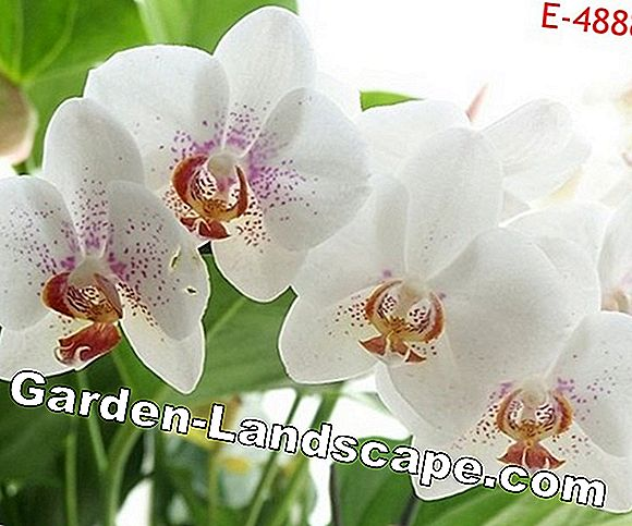Butterfly orchid - this is how the care of the Phalaenopsis succeeds