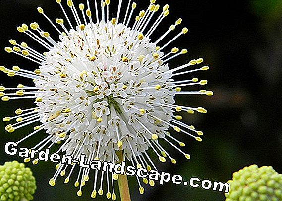 Button bush, Cephalanthus occidentalis - everything to care for