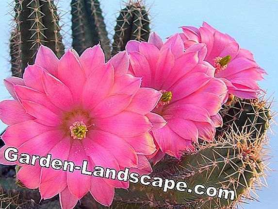 Cacti of the genus Echinocereus - varieties and care