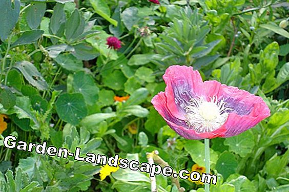 California poppy seeds - sowing, cultivation and care