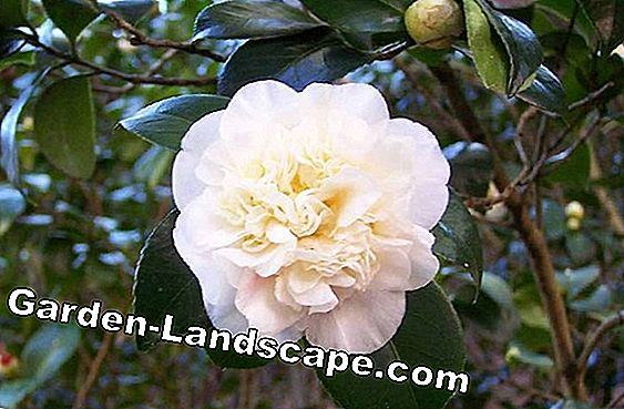 Camelie, Camelia plant - care and overwintering