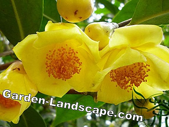 Camellias - Care, Diseases, Propagation