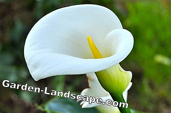 Care of Calla (Zimmercalla)