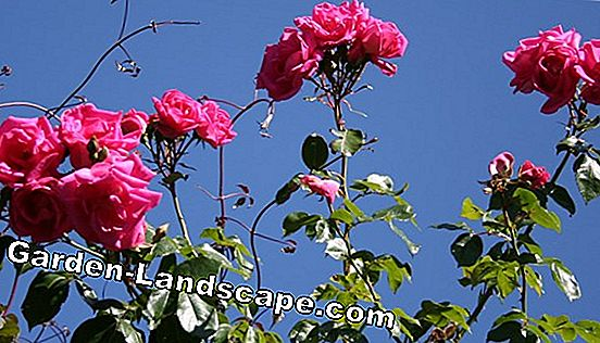 Care of climbing plants - planting, cutting and propagating
