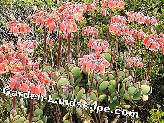 Care of Cotyledon undulata and ladysmithiensis