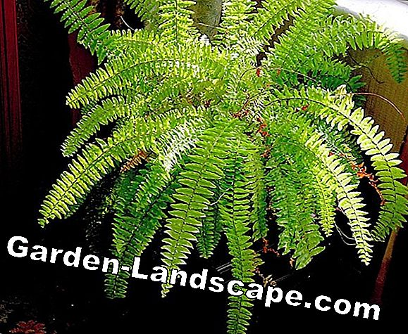Care of ferns - location, planting and propagating