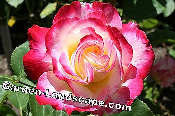 Care of mini roses - miniature rose