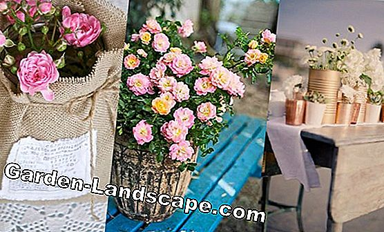 Care tips for potted roses