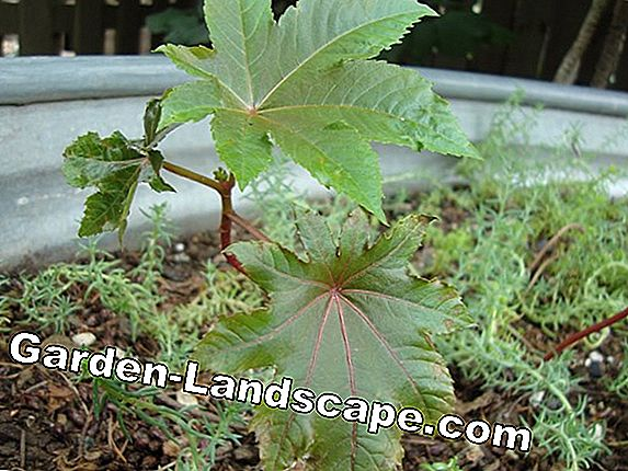 Castor bean plant - growing from seed, multiply and overwinter
