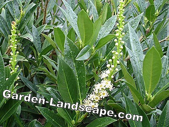 Planting cherry laurel - planting time and distances
