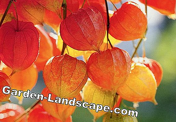 Lampion flower - care, propagation and wintering