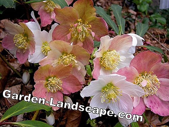 Christmas rose - plants, location & cutting