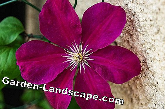 Clematis, Clematis 'Etoile Violette' Violet star - tips perawatan