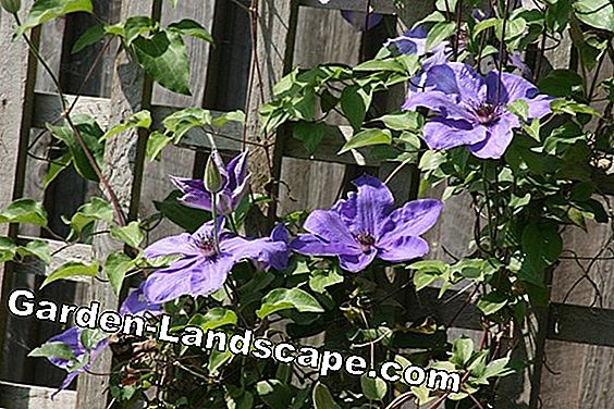Clematis, Clematis 'Miss Bateman' - Care & Cutting