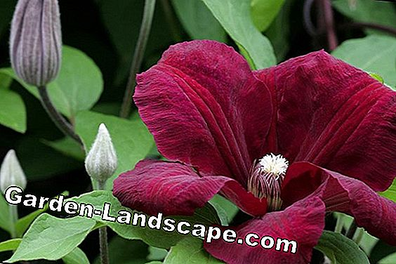 Clematis Clematis 'Rouge Cardinal' - care and cutting