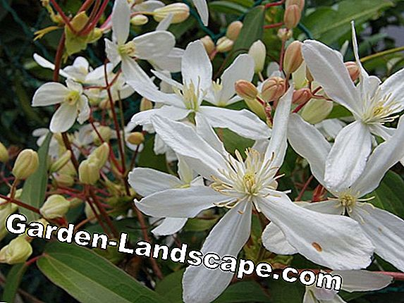 Clematis Jackmanii - Care, propagation and flowering time