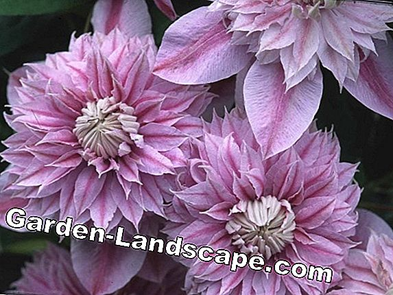Clematis 'Josephine' Evijohill (N) - care and cutting