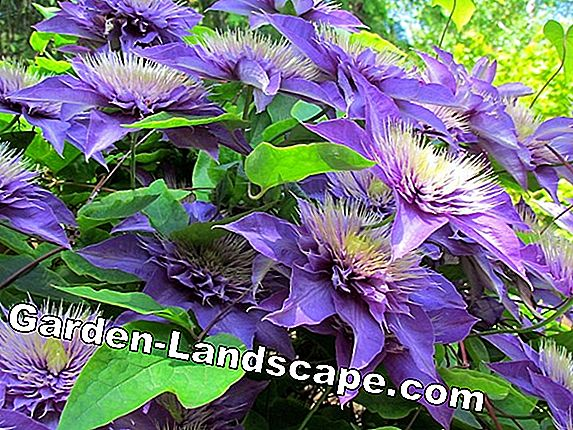 Clematis 'Multi Blue' - care and cutting