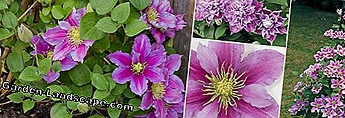 Clematis 'Piilu' clematis - Profile, care and cutting