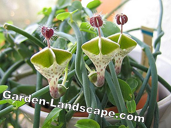 Climbing chandelier flower, Ceropegia sandersonii - care