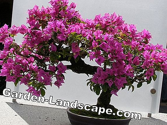 Climber varieties - evergreen, flowering for balcony and garden
