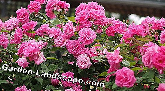 Climbing roses: The best varieties for rosebows