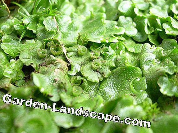 Common liverwort