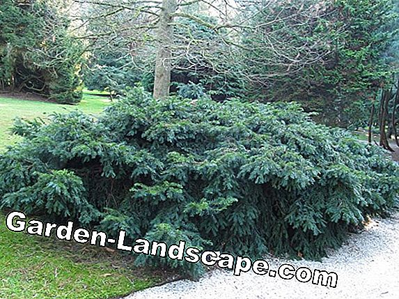 Conifers for the garden