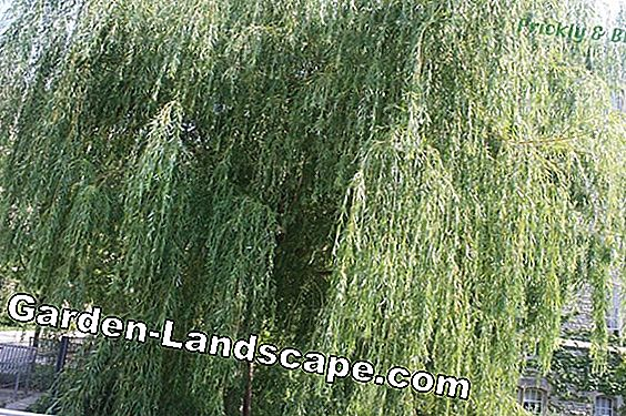 Corkscrew willow (Salix) - location, care and cutting