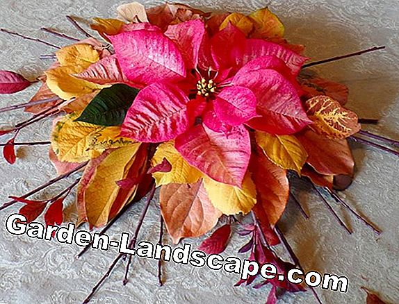 Creative idea: Advent arrangement with poinsettia