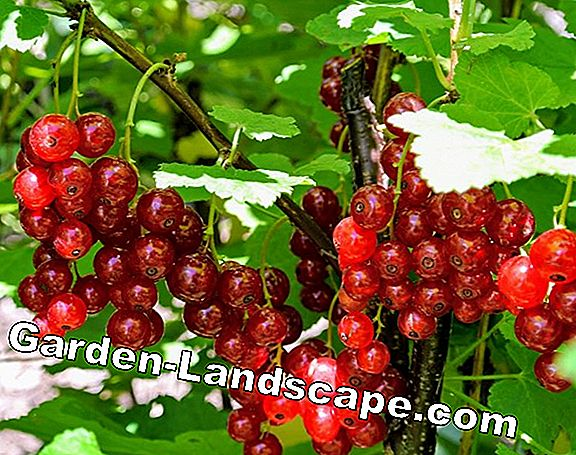 Currants: The best varieties
