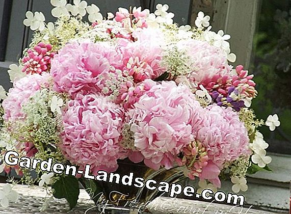 Cutting tips for peonies