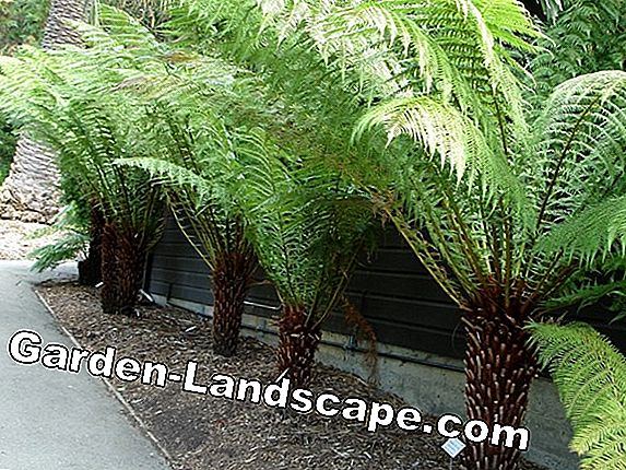 Cyathea australis - care of the tree fern