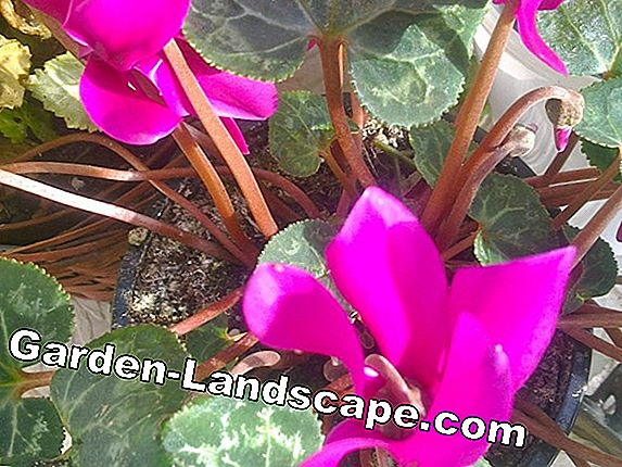 Cyclamen: Harbingers of Spring